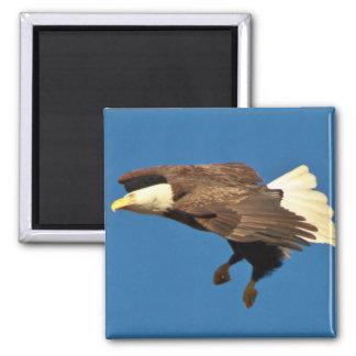 Bald Eagle prepares for landing Refrigerator Magnet