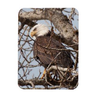 Bald Eagle resting in a Tree! Rectangular Photo Magnet