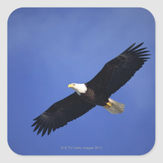 Bald eagle soaring , Alaska Square Sticker