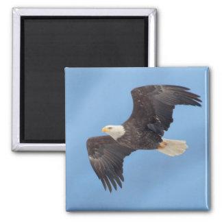 Bald Eagle taking flight Refrigerator Magnets