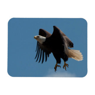Bald Eagle Taking Flight with Claws Extended Rectangular Photo Magnet