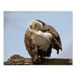 Bald Eagle (The bird giving the bird) Photo