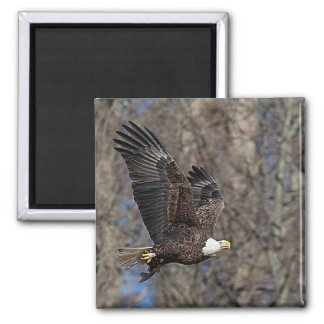Bald Eagle with a Catfish Square Magnet