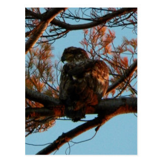 Bald Eagle Yearling Post Card