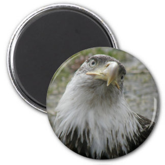 Bald Eagle, Young Adult 6 Cm Round Magnet