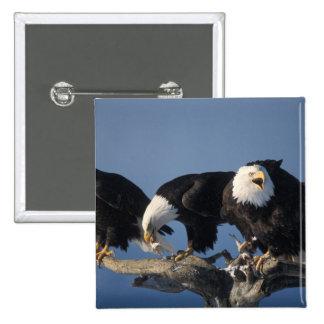 bald eagles, Haliaeetus leuccocephalus, 15 Cm Square Badge
