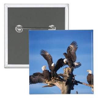 bald eagles, Haliaeetus leuccocephalus, 15 Cm Square Badge