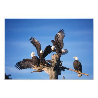 bald eagles, Haliaeetus leuccocephalus, Art Photo