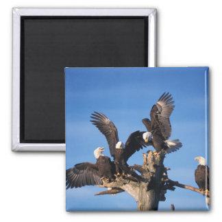 bald eagles, Haliaeetus leuccocephalus, Refrigerator Magnet