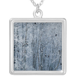 Bald Eagles (Haliaeetus leucocephalus) at the Silver Plated Necklace