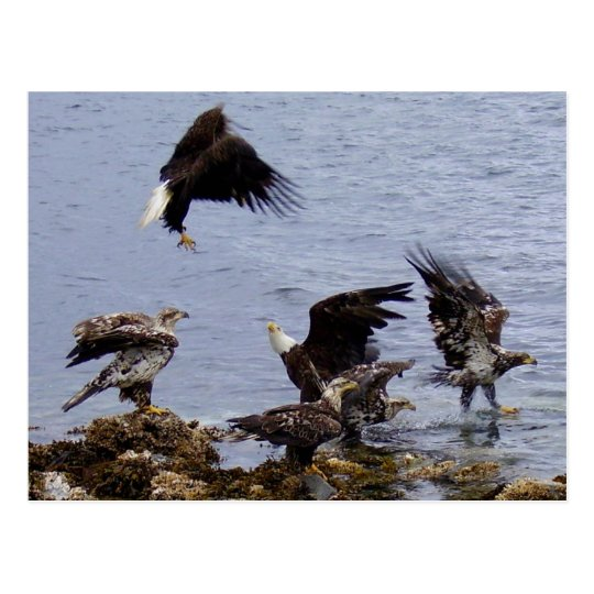 Bald Eagles on the Beach, Unalaska Island Postcard
