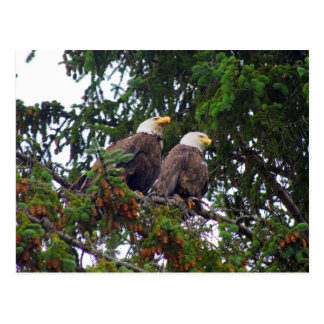 Bald Eagles Postcard