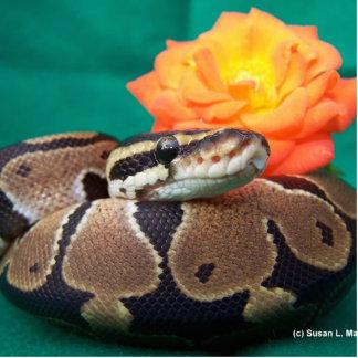 Ball Python, green background, orange rose Photo Sculpture