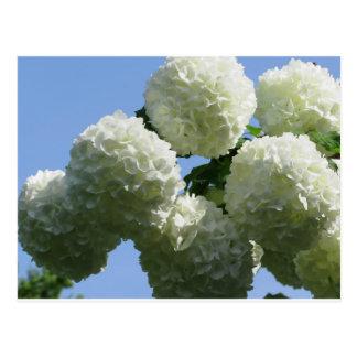 Balls of white hydrangea flowers against the sky postcard