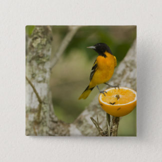 Baltimore Oriole feeding on orange, Icterus 15 Cm Square Badge