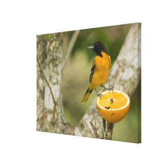 Baltimore Oriole feeding on orange, Icterus Canvas Print