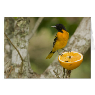 Baltimore Oriole feeding on orange, Icterus Card