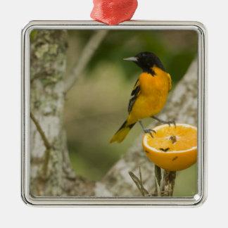 Baltimore Oriole feeding on orange, Icterus Christmas Ornament