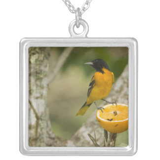 Baltimore Oriole feeding on orange, Icterus Silver Plated Necklace