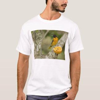 Baltimore Oriole feeding on orange, Icterus T-Shirt