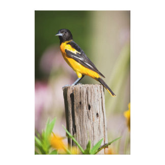 Baltimore Oriole female in flower garden Canvas Print