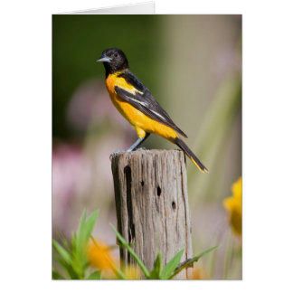 Baltimore Oriole female in flower garden Card
