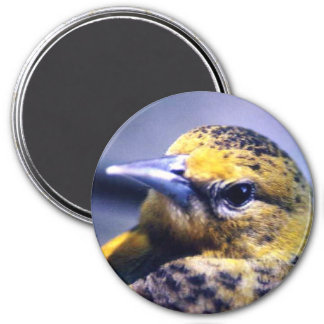 Baltimore Oriole, Female Magnet