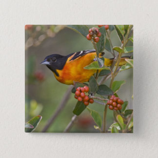 Baltimore Oriole Icterus galbula) adult male 15 Cm Square Badge