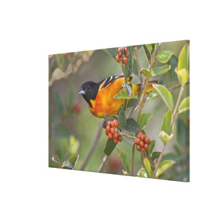 Baltimore Oriole Icterus galbula) adult male Canvas Print