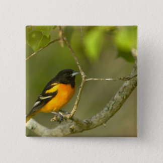 Baltimore Oriole, Icterus galbula, Coastal 15 Cm Square Badge