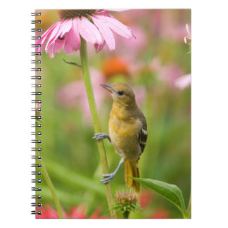Baltimore Oriole Notebooks