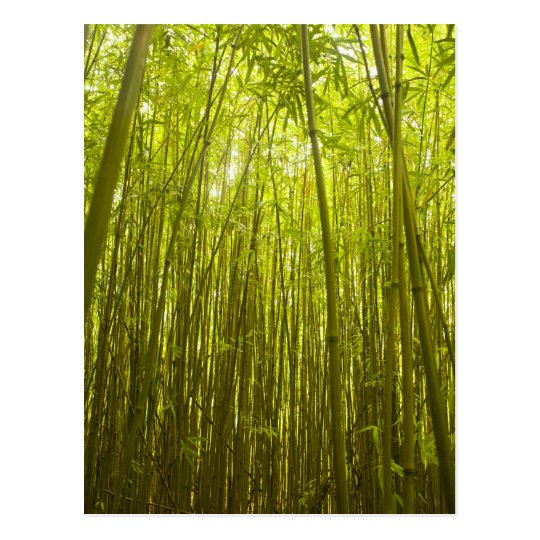 Bamboo Forest near Waikamoi Ridge Trail, North Postcard