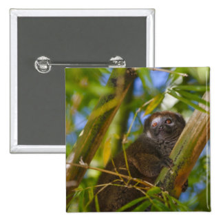 Bamboo lemur in the bamboo forest, Madagascar 15 Cm Square Badge