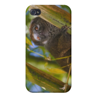 Bamboo lemur in the bamboo forest, Madagascar iPhone 4 Cover