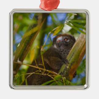 Bamboo lemur in the bamboo forest, Madagascar Silver-Colored Square Decoration