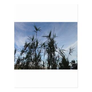 Bamboo. Postcard
