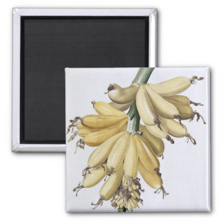 Banana, 1816 magnet