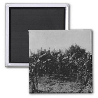 Banana Cultivation, Trinidad, c.1891 Magnet