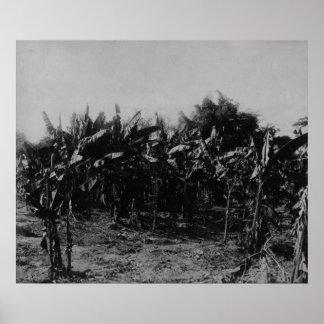 Banana Cultivation, Trinidad, c.1891 Poster