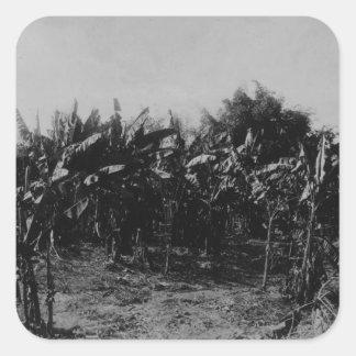 Banana Cultivation, Trinidad, c.1891 Square Sticker