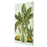 Banana, from J. Weinmann's Phytanthoza Iconographi Canvas Print