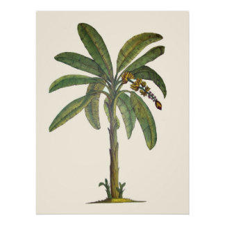 Banana Tree Botanical Poster