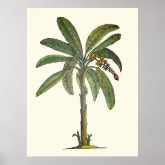 Banana Tree Botanical Posters