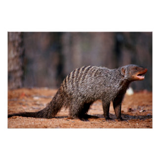 Banded Mongoose, Kruger National Park Poster