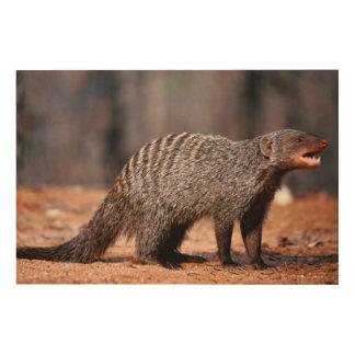 Banded Mongoose, Kruger National Park Wood Canvas