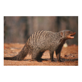 Banded Mongoose, Kruger National Park Wood Print