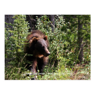 Banff National Park Grizzly Bear PostCard