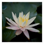 Bangladesh Water Lily Posters