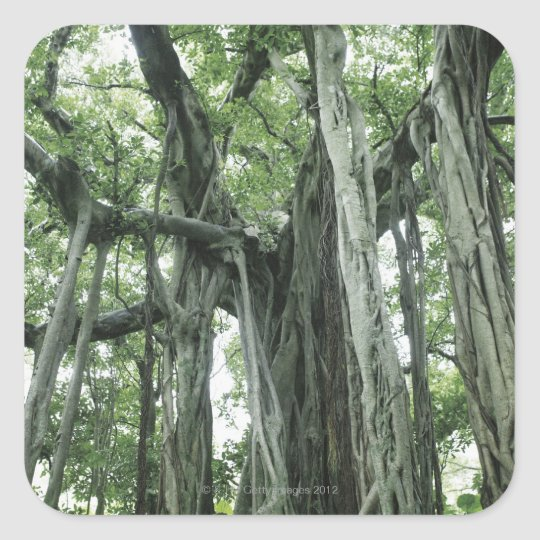 Banyan Tree Square Sticker