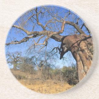 Baobab (Adansonia Digitata), Kruger National Coaster